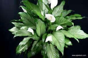 Tropical Indoor House Plants - spathiphyllum platinum varieties