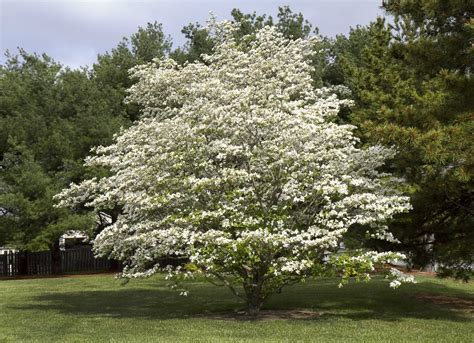 Tree In Backyard by Best Trees To Plant 10 Options For The Backyard Bob Vila