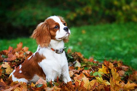 7 Dogs That Make The Best Accessories by Cavalier King Charles Spaniel 7 Dogs That Make The Best