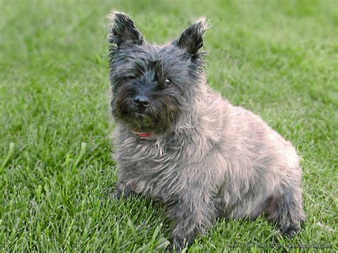 cairn terrier puppy cairn terrier brindle color breeds picture