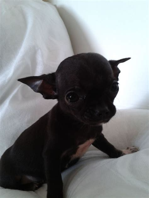 black and chihuahua puppies tiny black chihuahua puppie wednesbury west midlands pets4homes