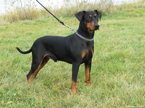 german pinscher puppies german pinscher breed history and some interesting facts