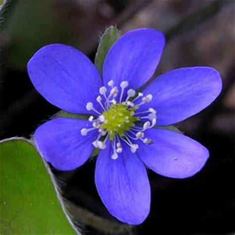 imagenes de flores azules resultados de la b 250 squeda de im 225 genes de google de http