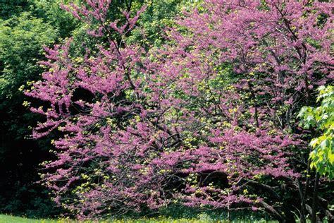 14 favorite front yard trees hgtv