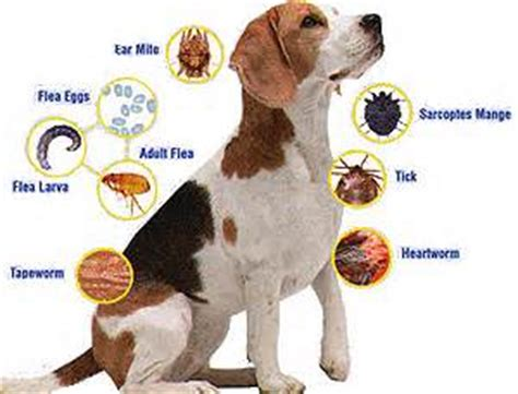 puppy parasites most common parasites in dogs dogluxurybeds