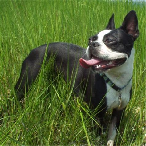 boston terrier puppies wisconsin large boston terrier for sale dogs in our photo