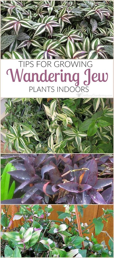 25 best ideas about wandering jew on pinterest outdoor