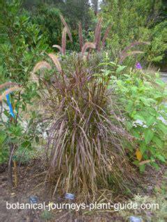 purple fountain grass red pennisetum setaceum rubrum