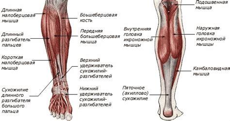 calf diagram 4 best images of anatomical diagram human