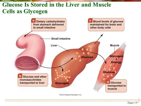 carbohydrates are stored as glycogen in the chapter 4 carbohydrates sugars starches and fiber ppt