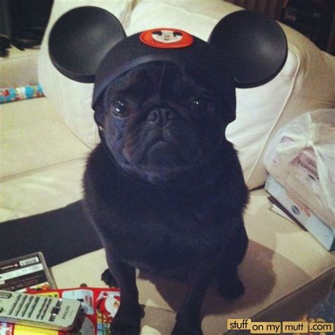 how much are pugs in canada pug with a mickey mouse hat stuff on my mutt