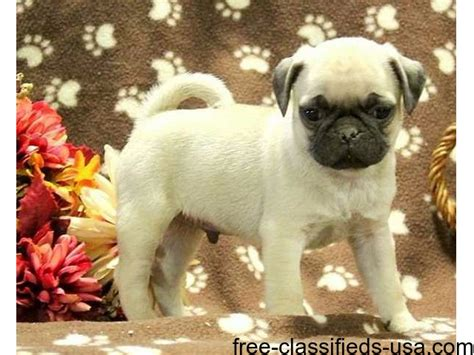 pug nose puppies for sale fawn pug puppies for sale animals grand junction tennessee announcement 58496