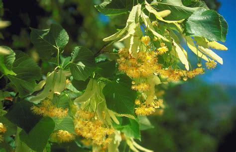 growing   leaf linden   home garden