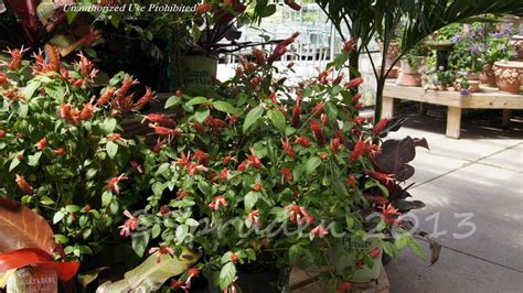 Gardens West Bloomfield by Plantfiles Pictures Shrimp Plant Justicia Brandegeeana