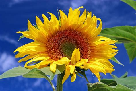 Landscaping Tips And Tricks Grow Giant Sunflowers