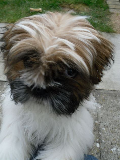 shih tzu cross breed shih tzu cross cavalier calne wiltshire pets4homes