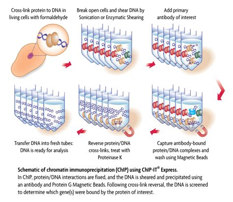 chip qpcr protocol active motif 187 chromatin immunoprecipitation chromatin ip