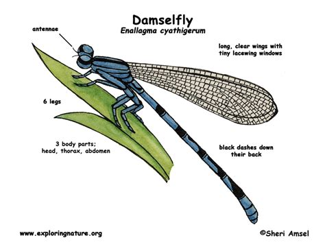 dragonfly anatomy diagram damselfly