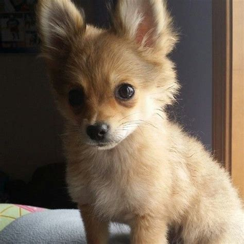 haired dachshund pomeranian mix 25 best ideas about chihuahua mix on chihuahua mix puppies chihuahua