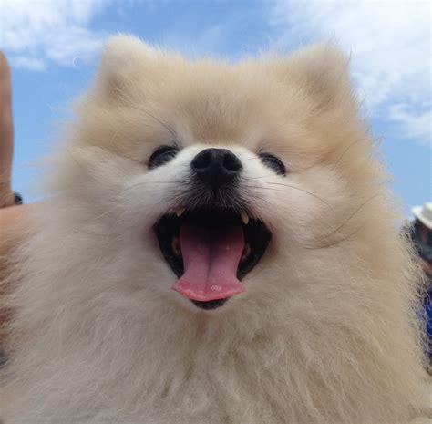 photos of pomeranian dogs happy pomeranian photo and wallpaper beautiful happy pomeranian pictures