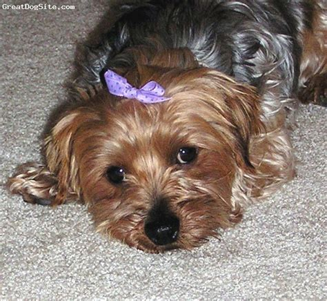 yorkie poo rescue yorkie poo rescue image search results breeds picture