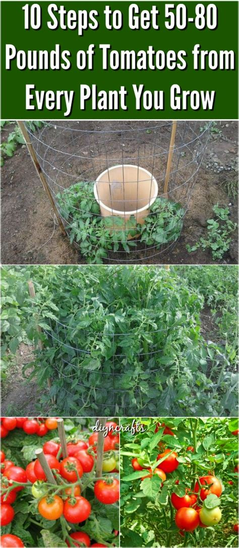 tomatoes have you heard of these tips and advice on 10 steps to get 50 80 pounds of tomatoes from every plant