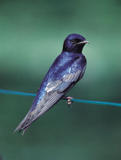 purple martin for the birds pinterest