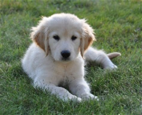 golden retriever breeders ma golden retriever puppies massachusetts for adoption dogs in our photo