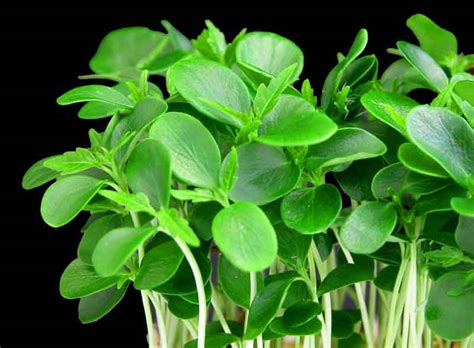 Perk Up Your Salads With Quick Spring Greens   Nana's