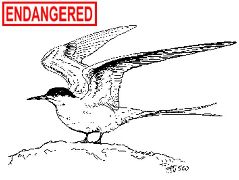 ct boating license age deep roseate tern fact sheet