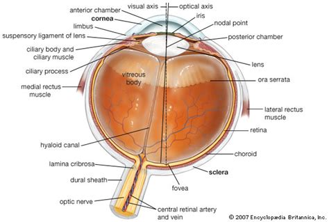 cross section of the human eye eye human horizontal cross section of the human eye