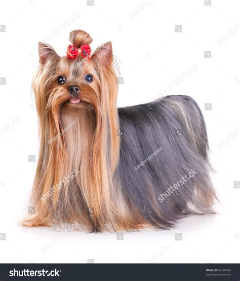 show pictures of a cotton coat yorkshire yorkshire terrier show coat yorkshire terrier in show coat