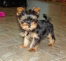 teacup yorkie for sale up to 400 terriers page 28 for sale ads free classifieds