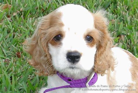perros de raza cocker imagenes imagenes de perritos bebes de todas las razas animales hoy