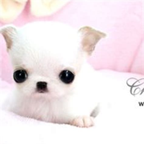 teacup puppies houston royal teacup puppies pet stores houston tx phone number yelp