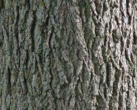 file black walnut bark detail jpg wikimedia commons