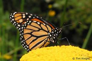 monarch butterflies funny animal