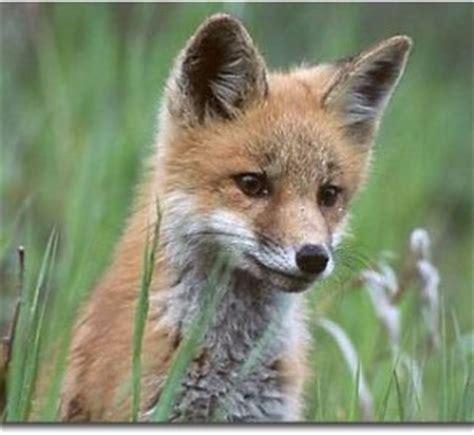 imagenes de zorros tristes zorros como mascotas 187 mascotapedia