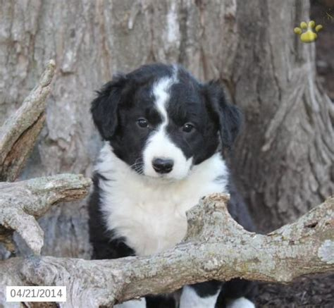 border collie puppies for sale in pa 1000 ideas about collie puppies for sale on border collie puppies border
