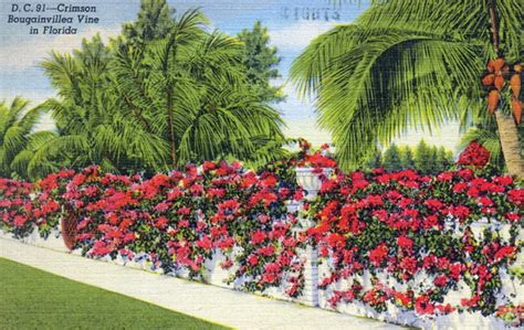 Vine Court Records Florida Memory Crimson Bougainvillea Vine In Florida