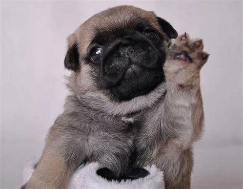 waving pug 1000 images about i pugs