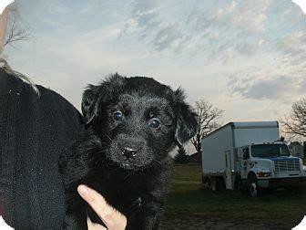 golden retriever mix puppies michigan snoopy adopted puppy howell mi golden retriever labrador retriever mix