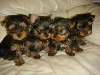 raising a yorkie puppy the secrets of raising a yorkie puppy terrier hub yorkies r us