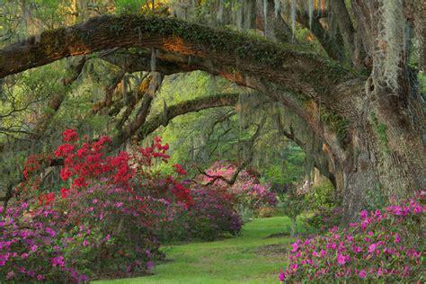azaleas at magnolia plantation and gardens charleston sc