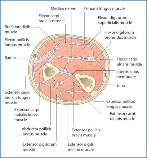 anterior section anterior forearm basicmedical key