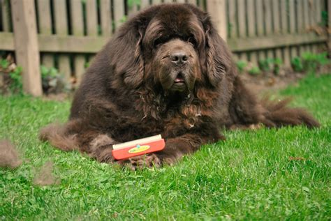 haired big dogs a big and the furminator pethairsolutions mybrownnewfies