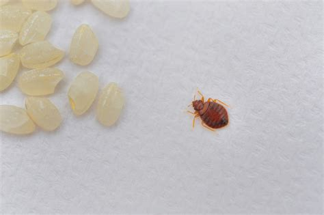 Bed Bug Nyc An Expert S Take On Bed Bugs Pest Control Long Island