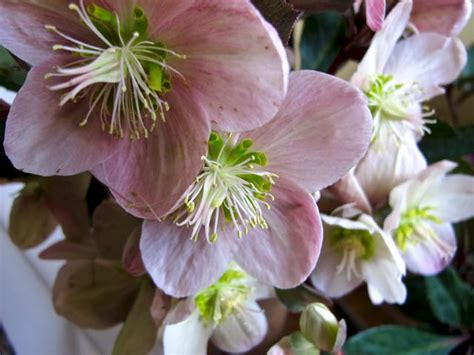 helleborus nurseries canada the lovely season of helleborus toronto gardens
