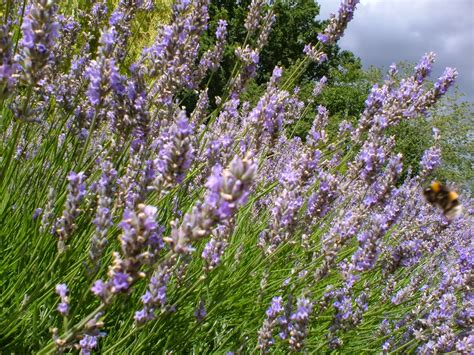 life between the flowers english lavender planting growing pruning