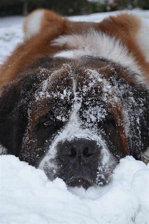 St Snow 954 best st bernard images on